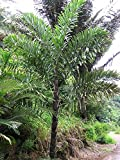 10 Seeds Wallichia disticha Distichous Fishtail Palm