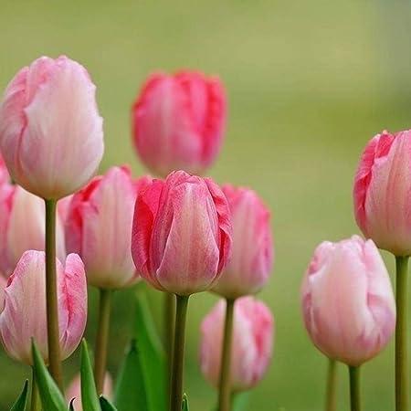 Amazon Com Telden New 50 Pcs Tulip Seeds 7 Colors Available