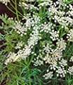 Caraway Seeds, Herb, 100+ Seeds, Organic, Non Gmo, You Can Use Seeds, Plant and Roots on This Herb