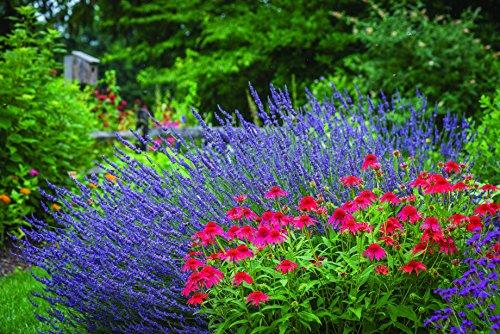 Burpee Perennial Lavender 'Phenomenal', 4'' pots, 1 plant, Fragrant, Evergreen, Pollinator Friendly by Burpee (Image #2)
