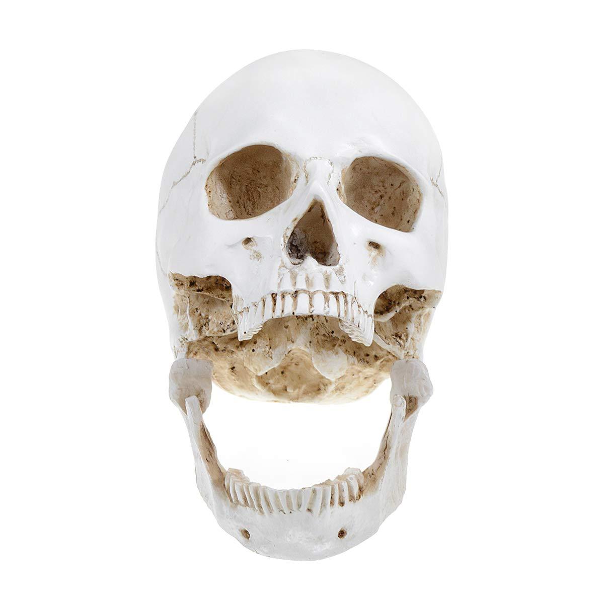 Alkita 1:1 Human Skull Model Life Size Anatomical Medical Teaching Skeleton Head 221517cm Study Model