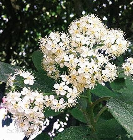 Amazon 50 Photinia Photinia Serrulata Rosaceae Evergreen
