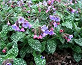 Lungwort 10 Seeds - Pulmonaria - Shade Perennial