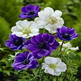 Anemone Coronaria White-Blue - 50 Flower Bulbs