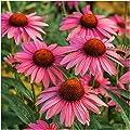 Package of 25 Seeds, Ruby Star Coneflower (Echinacea purpurea) Seeds by Seed Needs