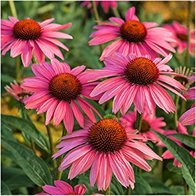 Package of 25 Seeds, Ruby Star Coneflower (Echinacea purpurea) Seeds by Seed Needs