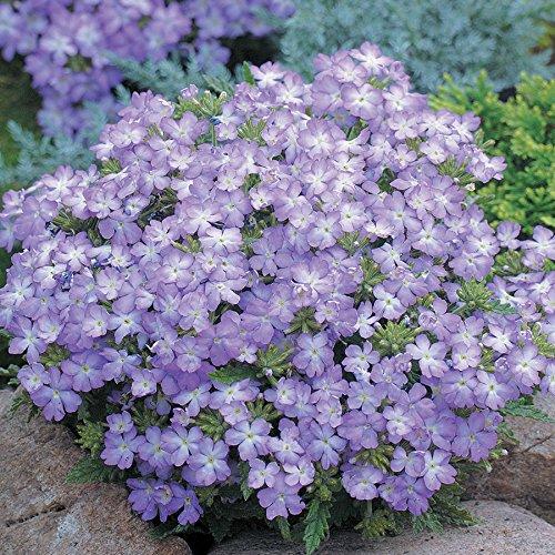 Park Seed Tuscany Lavender Picotee Verbena Seeds -