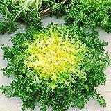 """500 Seeds, Endive """"Green Ruffec"""" Frisee Heirloom Seeds"""