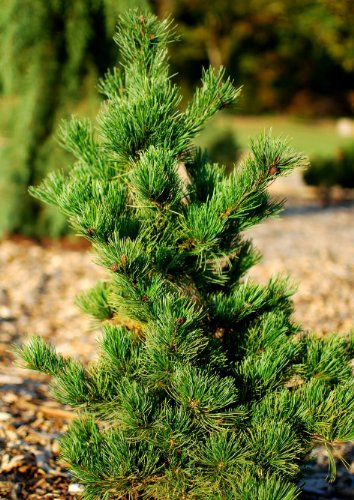 Bonsai White Tree Pine (Arakawa Japanese Cork Bark Pine 2 - Year Graft)