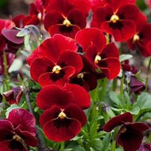 Lonlier Semillas de Pensamiento de Colores 100 pcs Flores para Jardín Huerto Semillas Plantas: Amazon.es: Jardín
