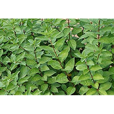 10 - California Privet Hedge Shrub : Garden & Outdoor