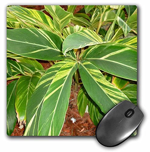 3dRose Susans Zoo Crew Flowers - Ginger plant sq - MousePad (mp_156038_1) ()