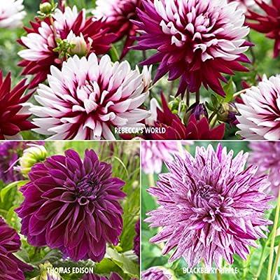 Van Zyverden Dahlias - Collection - 3 Varieties- Set of 15 Bulbs, Assorted