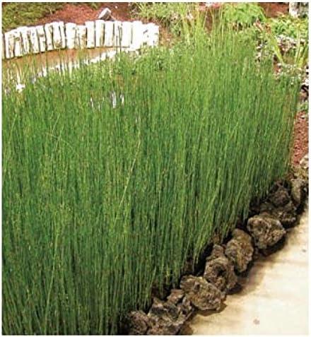 オンリーワン 植栽・個性派植物 トクサ(大株) 3個セット WP6-TTSO