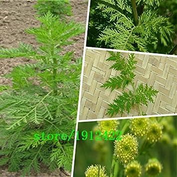 Nouveau Jardin Des Plantes 100 Graines Artemisia Annua Seeds Un An
