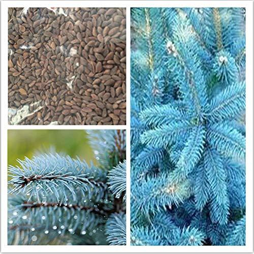 SimingD Crowado Blue Cedar Seed Spruce Seeds,Perennial Ornamental Seeds All Seasons Easy to Live and Flower 100pcs
