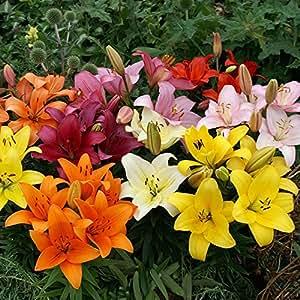 10 x Mixed Tulip bulbs