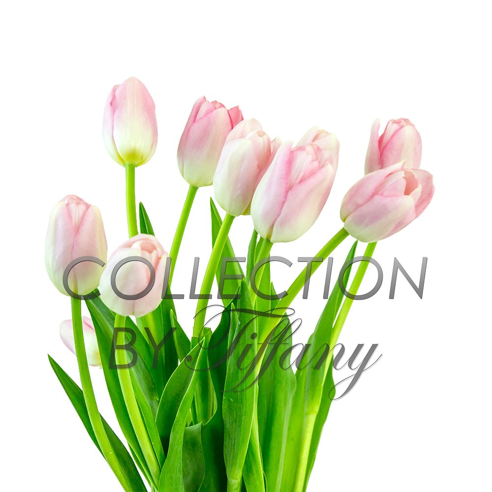 Tulip Fresh Festive Color 10st/Bunch Beautiful Wedding Event Everyday Occcasion Gift (Light Pink)