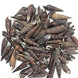 PEPPERLONELY Black Terebra Sea Shells, 8 OZ Approx. 65+PC Shells, 1-1/2 Inch ~ 2-1/2 Inch