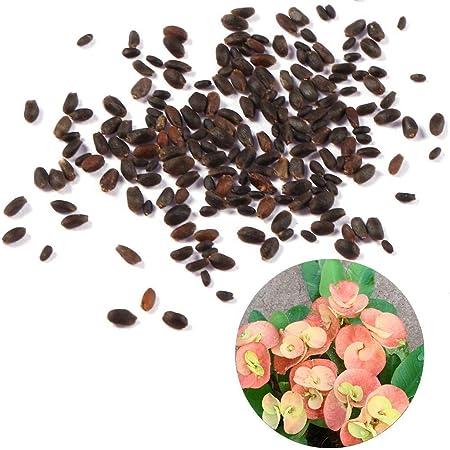 Amazon.com: Keland Rare Euphorbia Milii Hybrids Plant Seeds ...