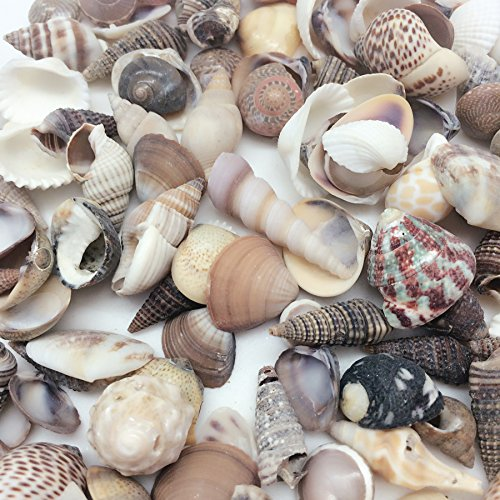 (PEPPERLONELY India Natural Sea Shells Mixed, Small, 1/2 Inch to 1-1/2 Inch in Sizes, 8 oz, Apprx. 380PC+ Shells)