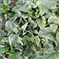 Viroflay Spinach Garden Seeds - Non-GMO, Heirloom Vegetable Gardening & Micro Greens Seed