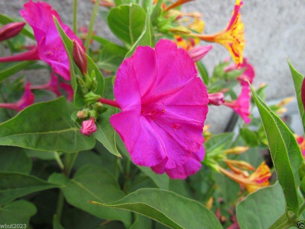 Amazon Four Oclocks Flowers Seeds Mirabilis Jalapa Pink 100