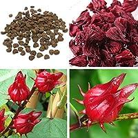 100 Graines Roselle Hibiscus Sabdariffa jardinage Herb Graines