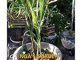 Sugarcane Root Stock (Sugarcane Ratoon)(Cay Mia) By Nga's Garden