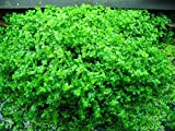 55 PLANTS tropical Freshwater Live aquarium fish tank baby tears pearl weed (SALE)