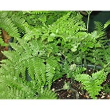 Davallia trichomanoides - Squirrels Foot Fern - 100 seeds