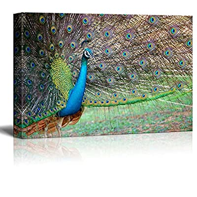 Canvas Prints Wall Art - Portrait of Beautiful Peacock with Feathers Out/Spreading Its Tail | Modern Wall Decor/Home Decoration Stretched Gallery Canvas Wrap Giclee Print & Ready to Hang - 24