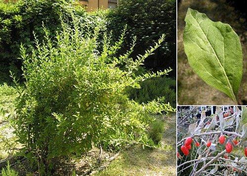 big lifeberry goji berry 39 plant lycium the super fruit 4 pot buy online in uae lawn. Black Bedroom Furniture Sets. Home Design Ideas