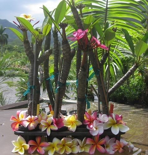 Rooted Plumeria Plant ~ Neon Lights ~ by Oahu Tropicals - OneStopAloha
