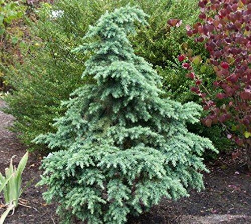 Divinely Blue Deodar Cedar Tree, Trade Gallon Pot,