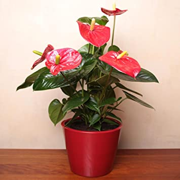 Anthurium Plant Live, 55cm Tall, U2013 Flamingo Potted Plant U2013 Indoor Plants U2013  House