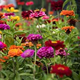 Dwarf Dahlia Petite Container Mix - Miniature Dahlia Mix 3 Large Tubers Bloom This Summer - Perfect for Containers | Ships from Easy to Grow TM