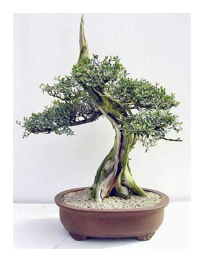Olive Bonsai Tree - Olea europaea ssp africana - wild olive - 5 seeds Exotic Plants