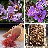 Saffron Crocus 10 Bulbs - Rare Spice - Organic Crocus