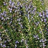Outsidepride Rosemary - 1000 Seeds