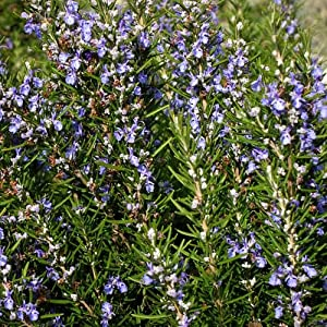 Outsidepride Rosemary Herb Plant Seed - 1000 Seeds