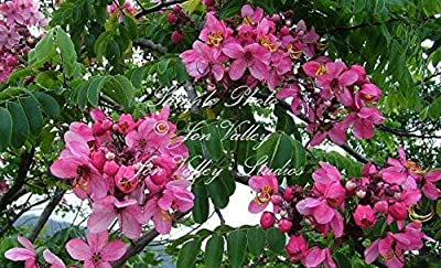 Cassia javanica 10 seeds Apple Blossom Shower Tropical Tree Stunning Pink Blooms Fragrant Aromatic Flowers Attracts Butterflies Hummingbirds