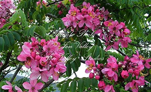 (Cassia javanica 10 seeds Apple Blossom Shower Tropical Tree Stunning Pink Blooms Fragrant Aromatic Flowers Attracts Butterflies Hummingbirds)