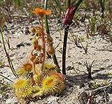 * Australian Drosera Glanduligera * Carnivorous * Very RARE Plant * 10 Seeds *