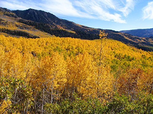 - 500 Quaking Aspen Tree Seeds, Fast Growing, (Populus tremuloides), Zones 1-6,