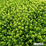 Gold Moss (Sedum Acre) Golden Carpet Stonecrop Succulent Groundcover 200 Seeds