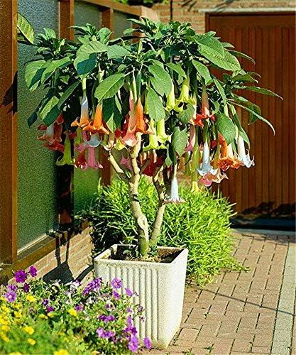 GETSO 100PCS Mandala Bonsa/ïPianta Brugmansia Suaveolens Flamenco Fiore pianta perenne da Giardino in Vaso di impianto 7