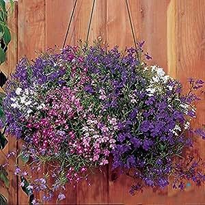 Seeds Trailing Mix (Lobelia pendula) Organic Flower Seed For Hanging Baskets
