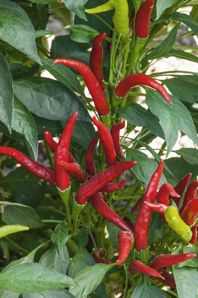 Amazon.com: Hot Pepper Thai Super Chili Hybrid Pkt – Aprox ...