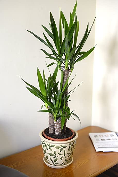 Populaire Plante d'intérieur - Plante pour la maison ou le bureau - Yucca  LL88